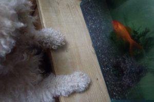 新入り金魚と重鎮トイプードル