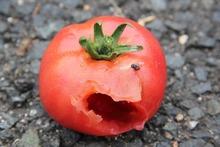 トマトの被害②